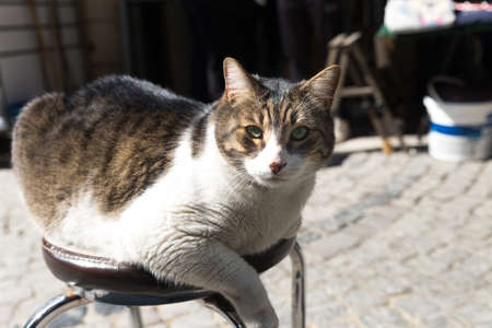 Obese tabby cat sitting at a stool outdoors in a sunny day, looking at lens. Outdoor shot at sunny day in a cobblestone street. 免版税图像