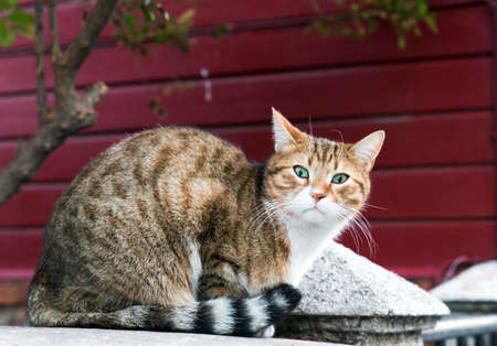 Outdoor shot of a Slanted eye stray cat in full body portrait, looking at lens with red wooden wall behind.