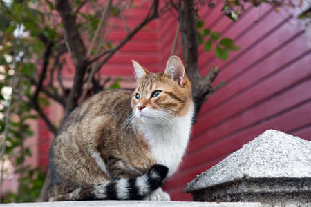 Outdoor shot of a Slanted eye stray cat in full body portrait, looking away with red wooden wall and some trees behind. 免版税图像