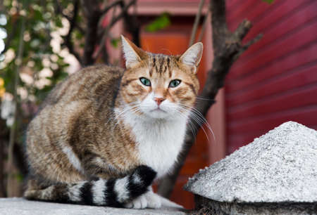 Front full body portrait of a Slanted eye stray cat in full body portrait, looking at lens with red wooden wall in the background. 免版税图像