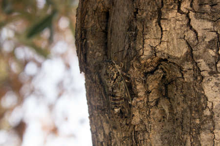 A Camouflaged cicada on a tree trunk with copy space