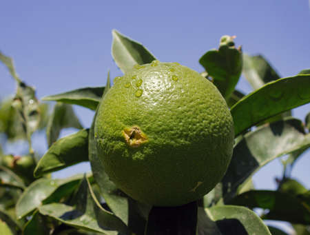 Unripe orange fruit started to crack from bottom due to inadequate watering in a close up image shot on a sunny day. 免版税图像