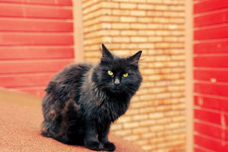 Dirty black long fur stray cat looking at lens with red-orange brick outdoor background. 免版税图像