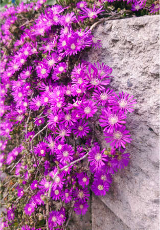 Close up of purple ice plant flowers, a herbaceous perrenial succulent plant.