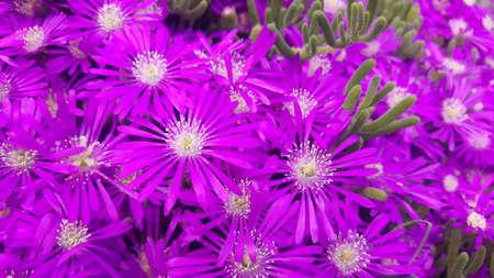 Close up of bright, purple ice plant flowers. 免版税图像