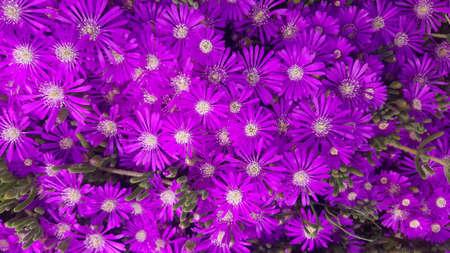Multiple purple ice plant flowers portrait. 免版税图像
