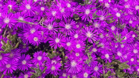 Multiple bright, purple ice plant flowers
