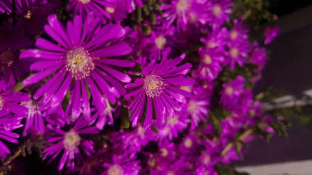 Close up of bright purple ice plant flowers on ground under sunlight, with copy space