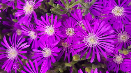 Close up of purple ice plant flowers, a herbaceous perrenial succulent plant in portrait setting.