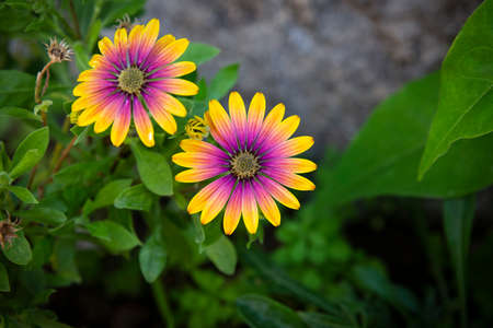 Close up of African daisies with brilliant yellow and purple colors and green leaves. 免版税图像