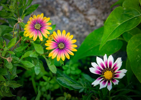 Close up of African daisies with yellow, purple and white colors.