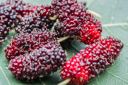 close up to Mulberry. fresh organic mulberry fruit. on mulberry leaf