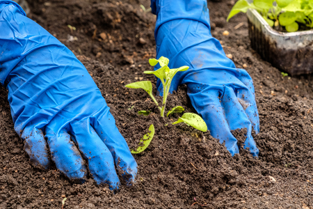 gloved hands planting a tree