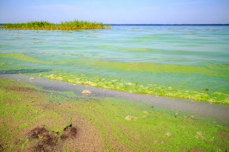 green algae on the pond Stock Photo