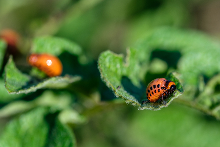 the larvae of the Colorado potato beetle on the leaf