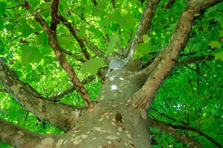 the tree view from below green leaves summer day Stock Photo - 88650973
