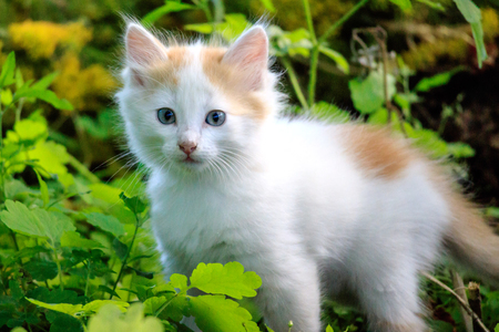 white kitten with red ears in the grass, summer day outdoor