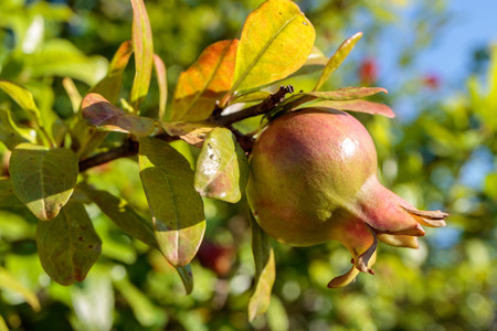 young unripe pomegranate on a branch almost merges with the leaves, summer Sunny day outdoor