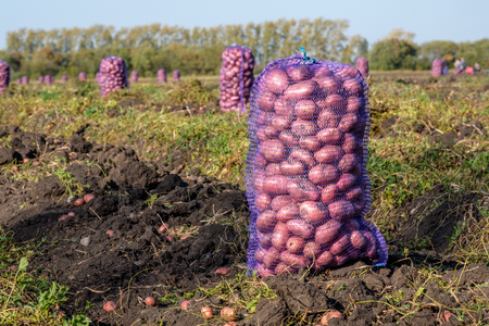 black land on which stands a sack of potatoes is an autumn harvest in a rural location Stock Photo