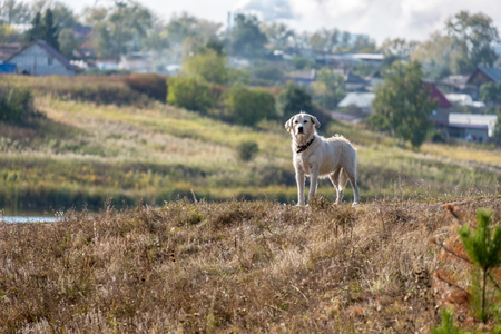 On the background of wooden houses of the countryside stands on the hill white dog stares ahead, autumn