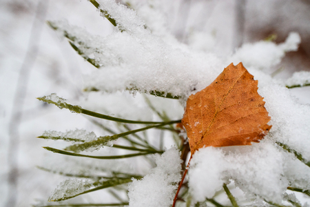 On a snowy pine branch lies a fallen yellow autumn leaf of a birch, snow and a leaf Фото со стока