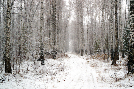 a snowy birch grove and a road all in the snow