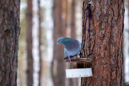 Pine to which is shown a trough on it sits a pigeon in search of food