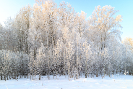deciduous forest in winter during a severe frost on the edge of a snowy field