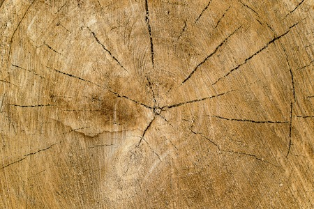 end part of the tree with annual rings and cracks in the end part, the texture
