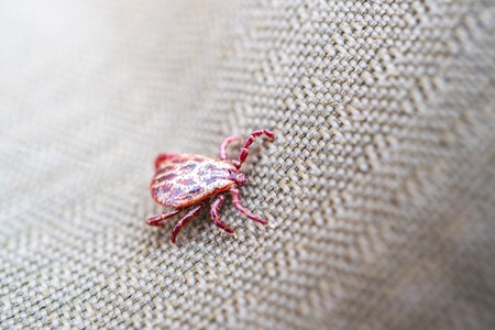 Ixodes tick spotted red shade, a dangerous animal that can infect diseases