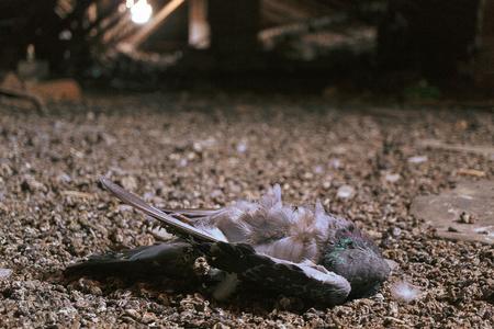 pigeon mort dans le grenier, l'arrière-plan est flou mais le cadre est différent Banque d'images