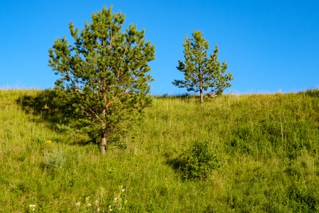 two small pines on the hillside and blue sky, summer day green grass and trees