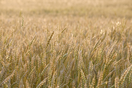 a field of growing wheat in the summer at sunset, natural color is not tinted not processed