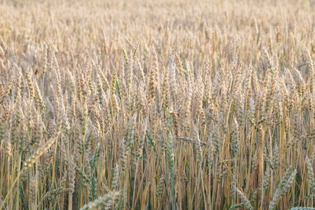 wheat field without horizon, in the foreground wheat spikelets in summer yellow, natural vibrant colors without tinting Banco de Imagens