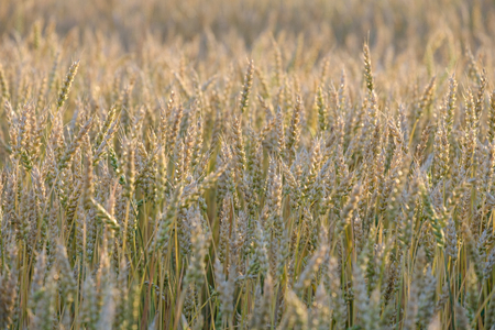 rye growing on the field in the summer before harvest, evening light