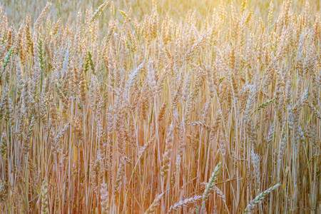 wheat field in different colors of the sunset sun in the summer before harvest, warm season