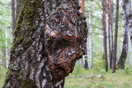birch Capa on the trunk of a tree growing in the forest, the growth on the wood in the form of a person, birch forest
