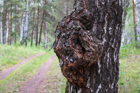 the growth on the trunk of birch growing in the forest outdoors, birch forest in the summer