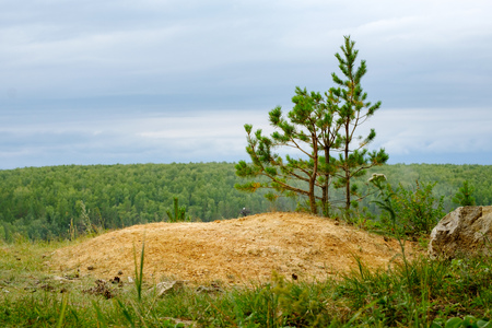 small pine growing near the stone in the sand and gray summer sky, forest background