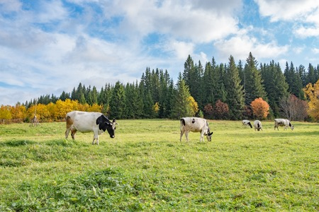 large black and white cow in the foreground in the meadow, autumn trees against the blue sky