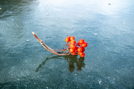 on the thin ice of the pond is berry Rowan, red berry blue ice