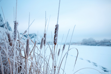 winter season coastal zone growing on the banks of the cattail in frost severe frost, in the background frozen pond and path