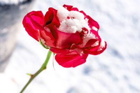red rose covered with snow in winter against the white snow