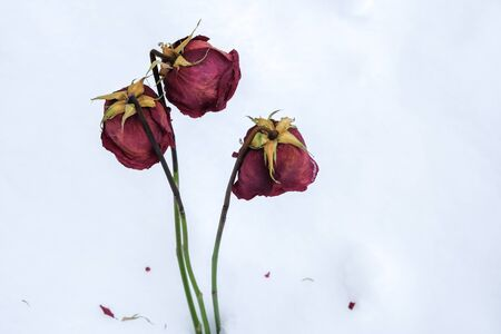 three withered roses in the snow in the winter in a big snowdrift