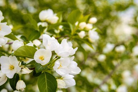 colorful Apple blossoms on the tree during the day soft lighting. spring flowers in the Apple orchard