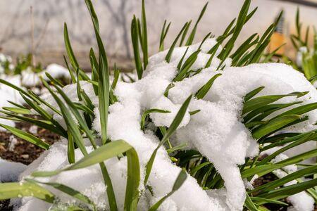 spring unexpected snow on green grass bright lighting Фото со стока