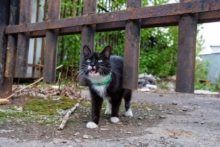 cat black and white is screaming from hunger lost. street setting the collar on the neck