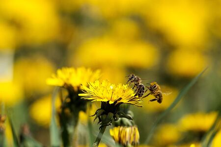 a field of yellow dandelions on one sits a bee another bee flies up behind out of focus. friendship bees