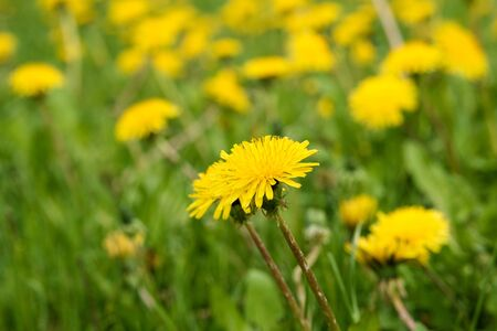 yellow dandelions on the field with green grass spring time. a large number of yellow flowers and green grass