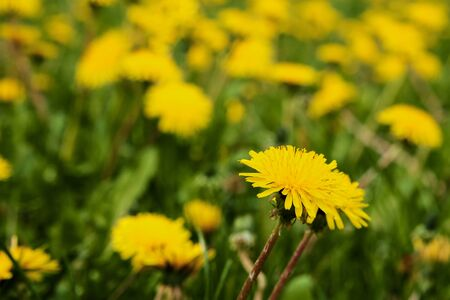 dandelion yellow flowers in the spring on the field. a field of yellow flowers Stok Fotoğraf